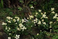 草丛里的秋菊