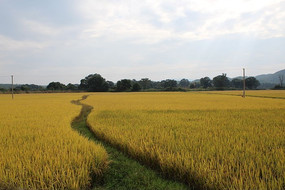 成熟稻田中的小路