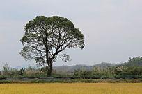 金灿灿的稻田上有颗守护树
