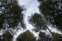 蓝天下茂密的楠树林