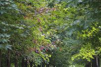 绿丛中的红枫叶