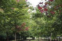 绿色叶片中的红枫叶