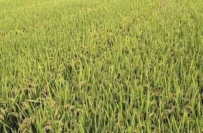 秋日的稻田
