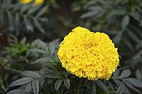 鲜艳的黄菊花