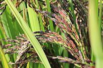 茁壮成长中的彩稻黑米