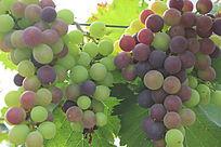 半成熟葡萄