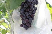 成熟的发黑的葡萄