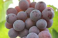 成熟的葡萄细节