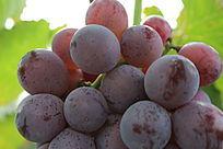 成熟的葡萄细节特写