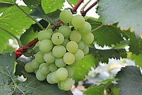 成熟的青葡萄也谢