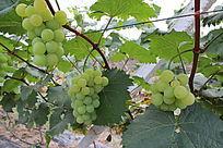 成熟的青葡萄与叶子