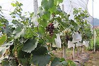 成熟中的葡萄与叶子