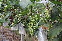 待成熟的葡萄