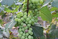 待成熟的青葡萄