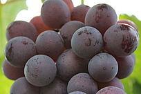 大粒的成熟葡萄
