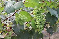 快要成熟的葡萄