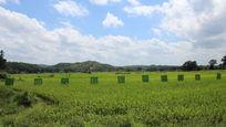 蓝色的天空绿油油的水稻
