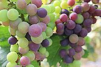 两串半成熟的葡萄