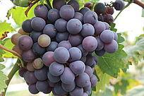 密密麻麻的成熟葡萄
