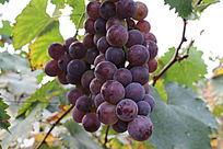 葡萄种植园内的成熟葡萄