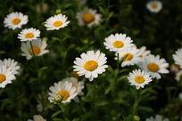 盛开的白菊花
