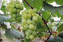 新鲜待采摘青葡萄