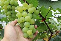 新鲜可采摘青葡萄