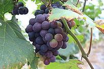 一串半成熟的葡萄