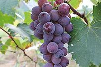 一串成熟的葡萄