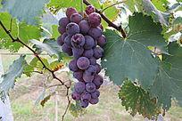 一串成熟的葡萄全景