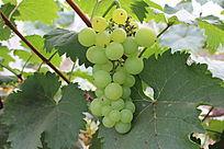 一串成熟的青葡萄