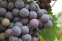 一大串成熟的葡萄特写