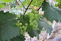 预备采摘的青葡萄