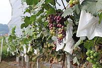 欲成熟的葡萄