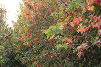 红绿枫叶林