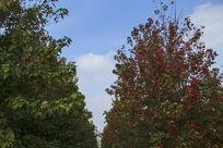 蓝天白云下红枫林