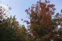 蓝天下红枫林