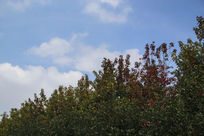绿树蓝天红枫叶