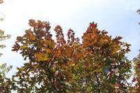 满树枝头红枫叶