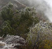 冻雨后形成的植被冰挂