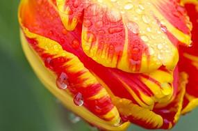 一朵红黄相间的郁金香花朵特写和水珠