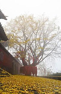 河南林州黄华山千年银杏树