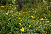 黄色小野花