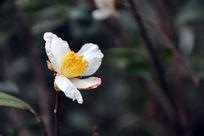 白色的茶花