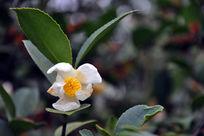 白色的茶花和绿叶