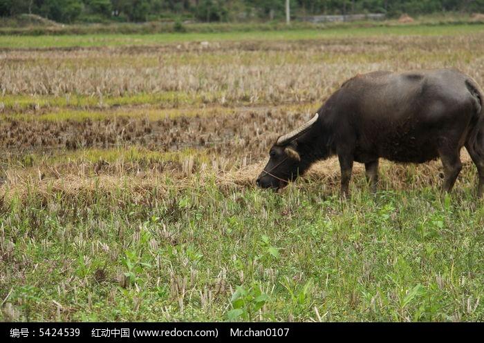 老牛吃草图片