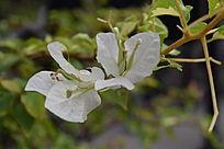 两朵盛开的白色花朵