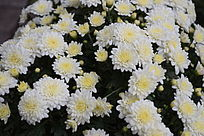 盛开的白色菊花