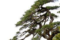海南五指山的松树