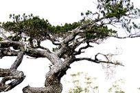 海南五指山山峰上古老松树